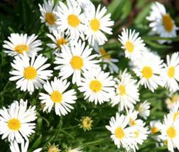 50 Seeds Aster Alpine White Aster Alpinus, DIY Decorative Plant ov04 - $10.39