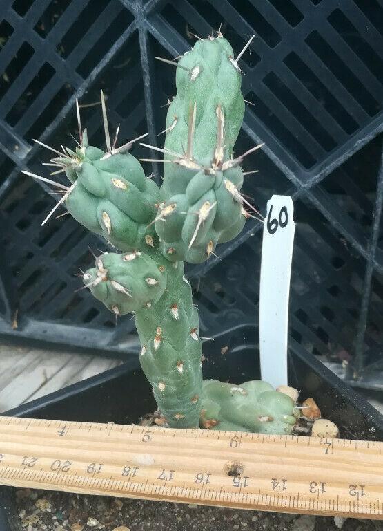 Cylindropuntia fulgida Chain Fruit Cholla Cactus Whole Plant 60