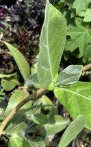 1 Fresh Cutting - Calotropis Gigantea Shrub Giant Milkweed Crown 6 inch ... - $41.99