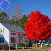 20 Seed Autumn Blaze Red Maple Tree, DIY Beautiful Tree DO - $9.99