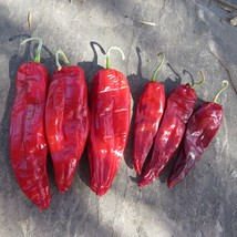 Maria Elena - largest strain of native chile, new from J&L Gardens - $5.00