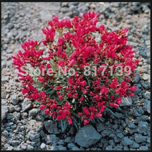 5 Seeds Calandrinia Umbelleta Ruby Tuesday Purslane Rock Herb Seeds - $3.99