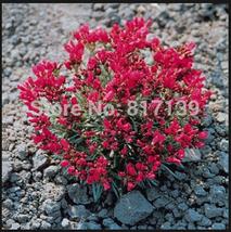 5 Seeds Calandrinia Umbelleta Ruby Tuesday Purslane Rock Herb Seeds - $3.99