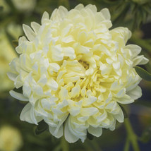 Tower Yellow China Aster Flower Seed - $8.99