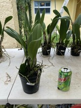Rhyncattleanthe Blc Chonburi Red CATTLEYA Orchid Plant Pot BS 0509 A image 2