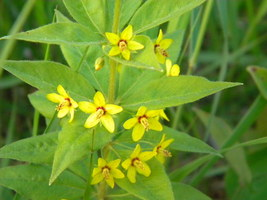 Native Plant, Whorled Loosestrife, Lysimachia quadrifolia, shade tolerant - $3.50