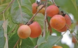 American Persimmon tree common persimmon image 3