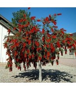 Capt. Cook Bottlebrush Tree Seeds (Callistemon Capt. Cook) 120+Seeds - $40.46