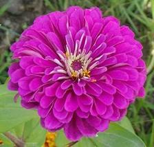 1,000 Purple Prince Zinnia Elegans Flower Seeds Outdoor Living TkLucky72 - $61.38