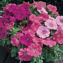 Trailing Petunia Mixed Colors Hybrida Pendula 25 Annual Seeds image 4
