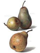 Vintage Fruit Prints: Beurre Rance - Fruit Growers Guide - 1880 - $12.95+