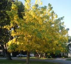 1 Golden Rain Tree (Koelreuteria paniculata) - $8.95