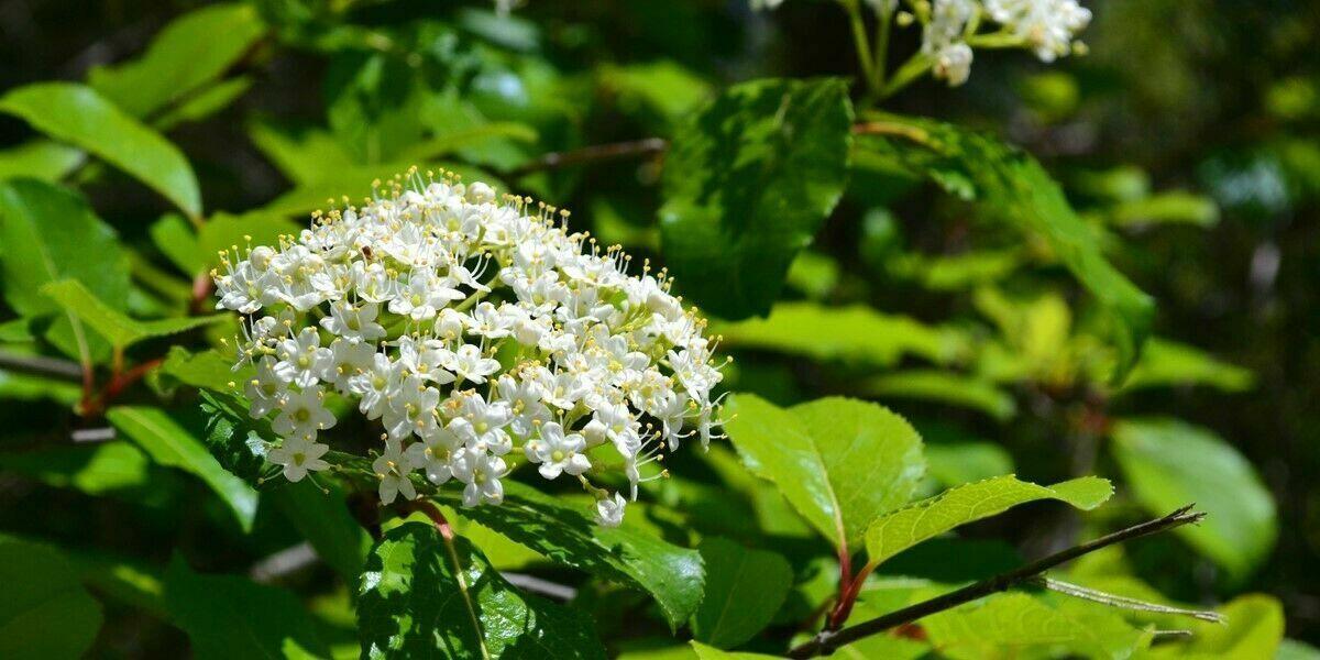 Blackhaw Viburnum qt pot (Viburnum prunifolium)