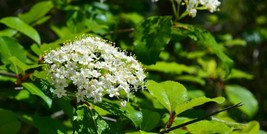 Blackhaw Viburnum qt pot (Viburnum prunifolium) - $5.99