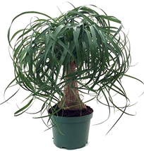 """Guatemalan Red Ponytail Palm indoor Live Plant -Beaucarnea - 6"""" pot Easy... - $25.00"""