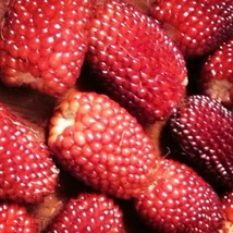 SHIP FROM US STRAWBERRY CORN 20 SEEDS RARE HEIRLOOM NON-GMO RED SWEET TGV1 - $12.00