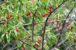 1 Plant American Plum Organic - $37.49