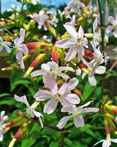 SHIPPED FROM US 100 White Rock Soapwort Saponaria Vaccaria Flower Seeds,... - $19.00