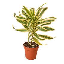 """Dracaena Song of India - 4""""Pot - Houseplant - Home Garden - Outdoor Living - D11 - $33.99"""