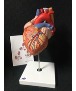 3B ScientificHeart with Esophagus and Trachea 2 X Life Size Anatomical M... - $239.95