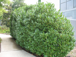 25 Schip Laurel shrub-hedge (Prunus Laurocerasus 'Schipkaensis') image 3