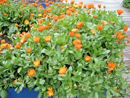 SHIPPED FROM US 8000+ENGLISH MARIGOLD Ornamental Culinary Medicinal Seed... - $30.00
