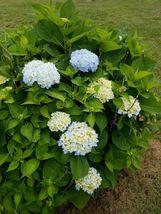 Nikko Blue Mophead Hydrangea  image 5