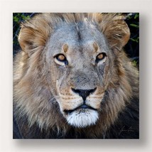 "24"" Stretched Canvas Lion Print - Color Photo Print Male Lion Close Up"