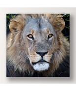 """Lion Stretched Canvas Print - Color Photo Male Lion Close Up 24"""" x 24"""" A... - $39.59"""