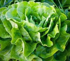 SHIP From US, 1 ounce 28K Seeds Tom Thumb Leaf Lettuce, DIY Vegetable Seeds ZJ - $37.26