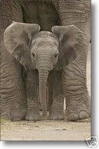 BABY ELEPHANT  24x36 Poster - $8.99