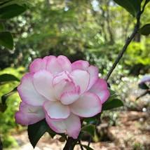 Camellia Sasanqua Leslie Anne Quart Plant – Outdoor Living – Gardening - tox - $56.95
