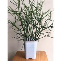5 Heathy Pencil Cactus - Firesticks, Euphorbia Tirucalli - 6 Succulent Cuttings - $13.86
