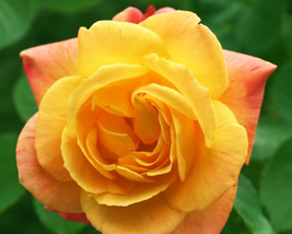 50pcs Very Admirable Red Stripe Orange Rose Flower Seeds IMA1 - $15.03