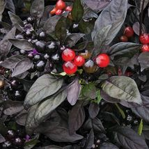 SHIP From US, 5 Seeds Black Pearl Pepper Seeds, DIY Healthy Vegetable AM - $18.99