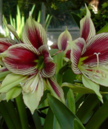 Rare Brazilian butterfly Amaryllis Papilio Barbados Lily, Hippeastrum - ... - ₹923.80 INR