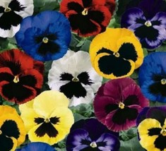 Pansy Seeds, Swiss Giant Pansies, Viola Seeds, Heirloom Flower Seeds, Mixed 50ct - $14.39