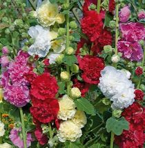 Ship From Us Dwarf Hollyhock Flowers Borders Combined Shipping TGV1 - $10.76