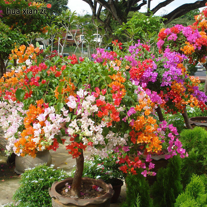 100 PCS Mix-Color Bougainvillea Spectabilis Willd Seeds Bonsai Flower Plant Seed