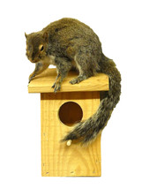 Squirrel On Birdhouse Taxidermy Wall Mounted Animal Statue - $308.99