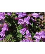 50 Pcs Seeds Davidson Beardtongue Alpine Penstemon Davidsonii Purple Flo... - $16.00