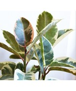 Variegated Rubber Tree - Ficus elastica variegate Live Plant Fit 5 GAL Pot - $35.63
