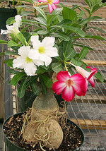 BEST PRICE 2 Seeds Desert Rose Adenium Obesum Bonsai Flower,FS DIY Flower Seeds - $6.99