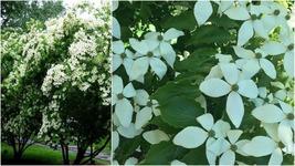 Kousa Dogwood Tree (2-3') - Home Garden Outdoor Living - $83.99