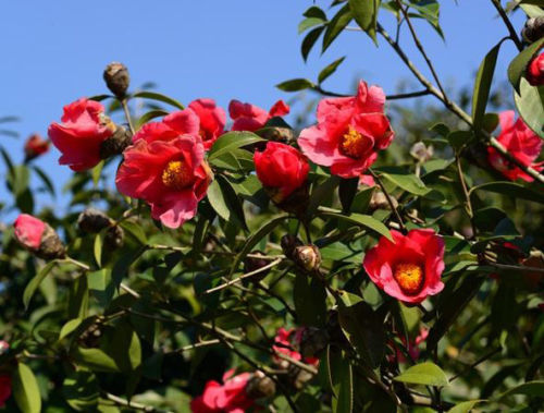 Primary image for 5 Red Camellia japonica seeds Small Shrub Easy Grow * CombSH M83