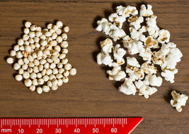 SHIP FROM US 75 WHITE POPPING SORGHUM Bicolor Snack Vegetable Flour Seed... - $12.00