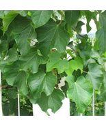 5 seeds - Physic Nut Barbados Purging Jatropha Curcas Tree #SFB15 - $17.99
