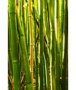 Glowing Bamboo Cluster, in Maui, Fine Art Photos, Paper, Metal, Canvas P... - $40.00 - $442.00