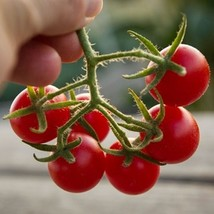 SHIP From US, 25 Seeds Texas Wild Cherry Tomato Seeds, DIY Healthy Veget... - $21.99