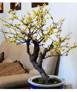 Winter sweet Chimonanthus praecox 5 seeds Very Fragrant Tree / bonsai Co... - $13.58